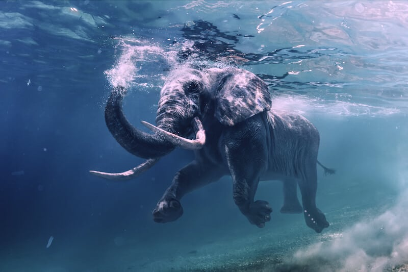 Elephant swimming under water