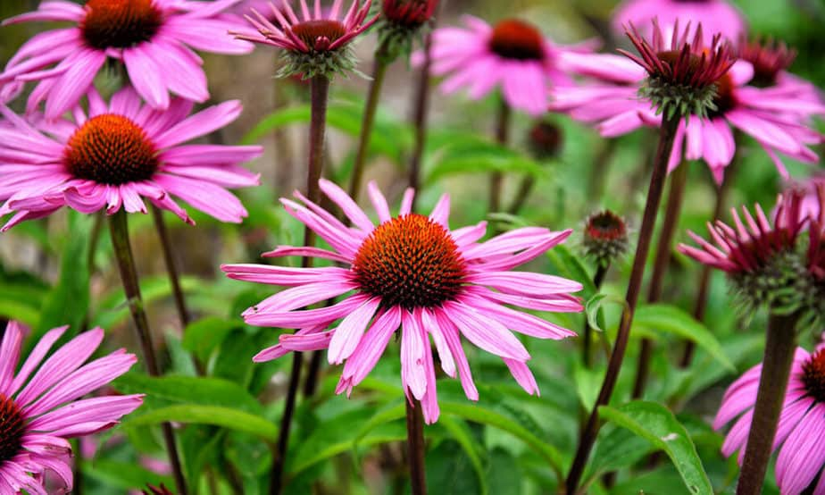 One of the best plants in the fight against aging - echinacea